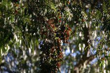 Free Monarchs At Natural Bridges 9 Royalty Free Stock Photos - 1078518