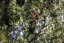 Free Monarchs At Natural Bridges 10 Stock Photos - 1078553