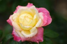 Hybrid Rose Royalty Free Stock Photo