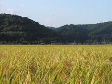Free Rice Field Stock Photo - 1079430