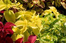 Colorful Coleus Stock Images