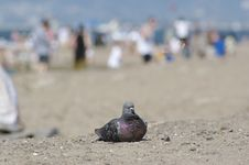 Free Pigeon Royalty Free Stock Photography - 1079577