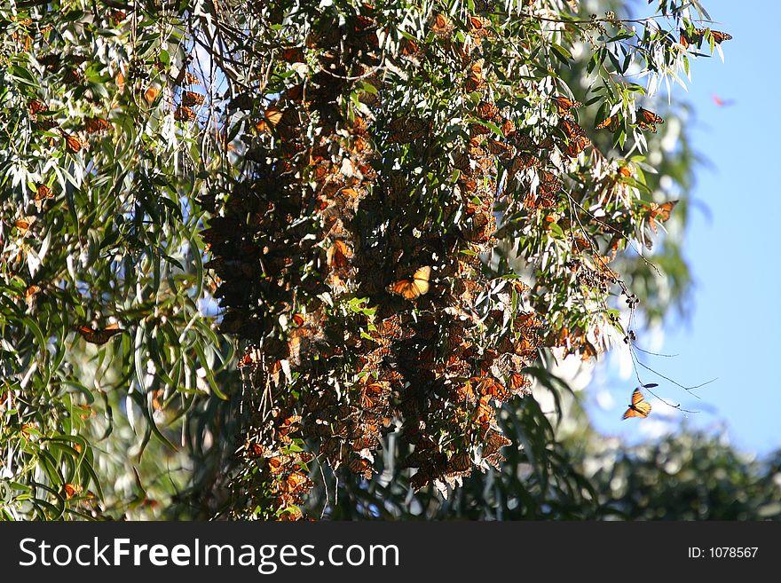 Monarchs at Natural Bridges 12