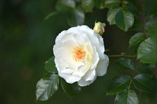 Free Flower, Rose, Rose Family, White Royalty Free Stock Photos - 107020148