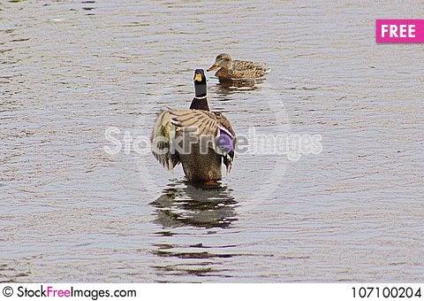Free Drake Mallard Saying Prayers On Pond In Boise Idaho Stock Images - 107100204