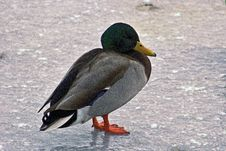 Free Lone Mallard On Frozen Pond Looking Cold Stock Photography - 107100142