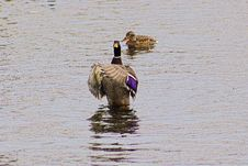 Drake Mallard Saying Prayers On Pond In Boise Idaho Stock Images