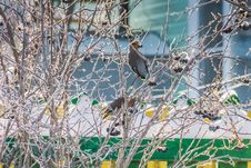 Waxwings On Winter Tree Stock Photography