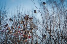Waxwings On Winter Tree Stock Images