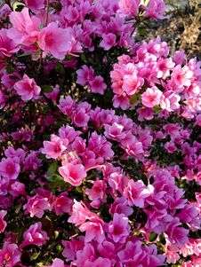 Free Plant, Flower, Pink, Shrub Royalty Free Stock Photos - 107307528