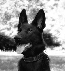 Free Dog, Dog Like Mammal, Black, Black And White Royalty Free Stock Photo - 107374465