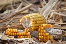 Free Maize, Corn On The Cob, Sweet Corn, Commodity Stock Image - 107374521
