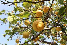 Free Citrus, Fruit Tree, Fruit, Tree Stock Image - 107374831