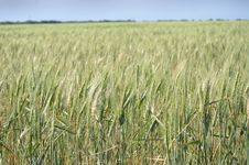 Free Crop, Food Grain, Field, Triticale Royalty Free Stock Images - 107374949