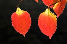 Free Leaf, Orange, Deciduous, Autumn Royalty Free Stock Photography - 107375257