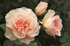 Free Rose, Flower, Rose Family, Pink Stock Photos - 107375293