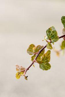 Free Branch, Leaf, Bud, Twig Royalty Free Stock Photography - 107439257