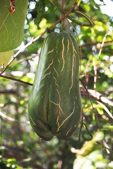 Free Plant, Leaf, Tree, Gourd Stock Photo - 107439370
