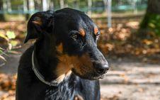 Free Dog, Dog Breed, Austrian Black And Tan Hound, Dog Like Mammal Royalty Free Stock Photography - 107439417