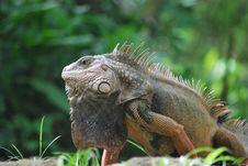 Free Reptile, Iguana, Iguania, Scaled Reptile Stock Photo - 107440070