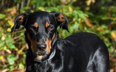 Free Dog, Dog Breed, Dog Like Mammal, Austrian Black And Tan Hound Royalty Free Stock Images - 107440129