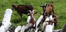 Free Goats, Goat, Fauna, Cow Goat Family Royalty Free Stock Image - 107440246