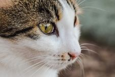 Free Cat, Whiskers, Fauna, Small To Medium Sized Cats Stock Images - 107451464