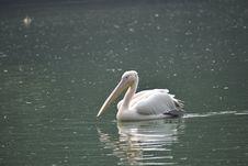 Free Pelican, Bird, Seabird, Water Royalty Free Stock Image - 107451766
