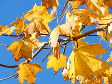 Free Leaf, Yellow, Autumn, Maple Leaf Stock Images - 107451944