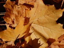 Free Leaf, Autumn, Maple Leaf, Deciduous Royalty Free Stock Image - 107451976