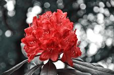 Free Flower, Red, Plant, Woody Plant Royalty Free Stock Photography - 107452397