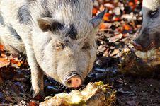 Free Pig Like Mammal, Mammal, Pig, Fauna Stock Photo - 107453200