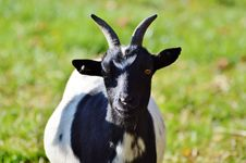 Free Goats, Goat, Horn, Cow Goat Family Stock Image - 107453201