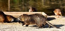 Free Fauna, Mammal, Beaver, Rodent Stock Photos - 107453203