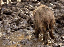 Free Mammal, Fauna, Wildlife, Wild Boar Royalty Free Stock Image - 107453216
