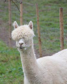 Free Alpaca, Camel Like Mammal, Llama, Terrestrial Animal Royalty Free Stock Photos - 107453288