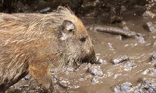 Free Mammal, Fauna, Wildlife, Wild Boar Stock Photo - 107453310