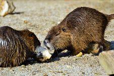 Free Beaver, Fauna, Mammal, Muskrat Stock Photo - 107516730