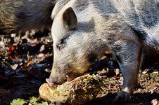 Free Pig Like Mammal, Mammal, Fauna, Pig Stock Images - 107517094