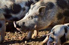 Free Pig Like Mammal, Pig, Mammal, Fauna Stock Images - 107517324
