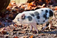 Free Pig Like Mammal, Pig, Fauna, Domestic Pig Royalty Free Stock Photos - 107518018
