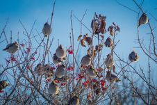 Free Waxwings On Winter Tree Royalty Free Stock Photo - 107650775