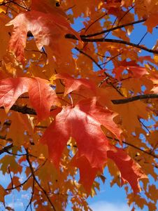 Free Maple Leaf, Leaf, Autumn, Tree Stock Photography - 107750032