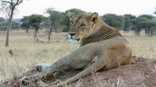 Free Wildlife, Lion, Terrestrial Animal, Masai Lion Royalty Free Stock Photography - 107750337