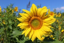 Free Flower, Sunflower, Yellow, Sunflower Seed Stock Photos - 107750503