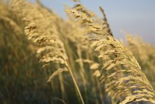 Free Wheat, Food Grain, Grass Family, Grain Royalty Free Stock Photo - 107789225