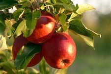 Free Fruit, Apple, Produce, Fruit Tree Stock Image - 107889131