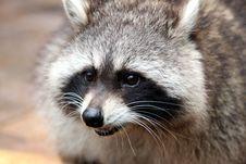 Free Raccoon, Procyonidae, Mammal, Fauna Stock Photos - 107900663