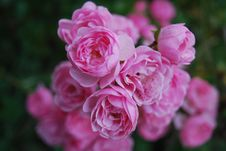 Free Flower, Rose, Rose Family, Pink Stock Images - 107901114