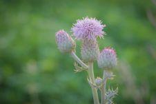 Free Flower, Thistle, Plant, Flora Stock Image - 107901271